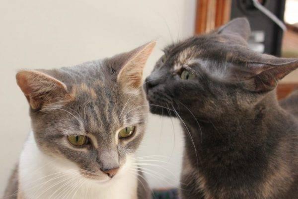 cat listening Italian e1551842611829