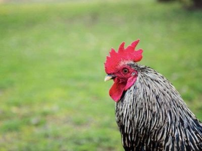 italian news rooster