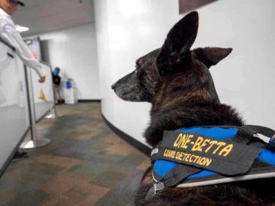 Cani anti Covid a Miami
